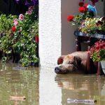 Свинья ждет своего спасителя во время сильного наводнения 19 мая 2014 в деревне Войскова, Босния и Герцеговина.