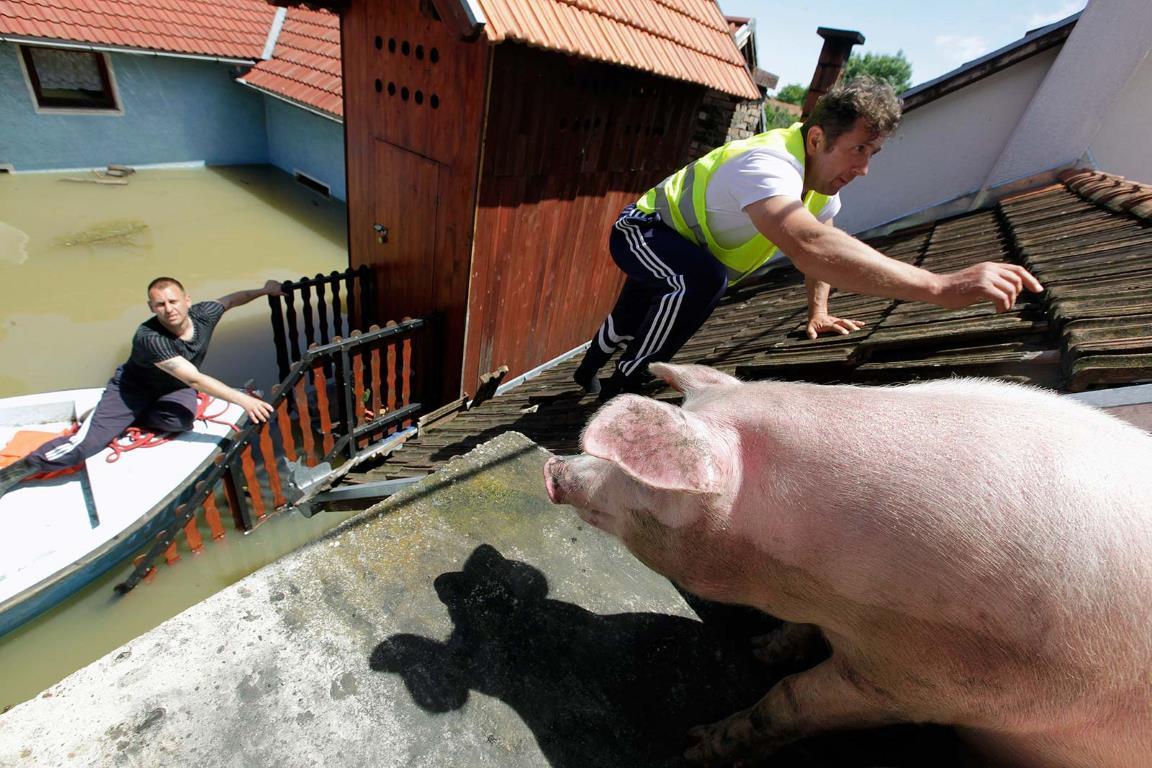 Спасатель поднимается на крышу дома, чтобы накормить спасенную от наводнения свинью.