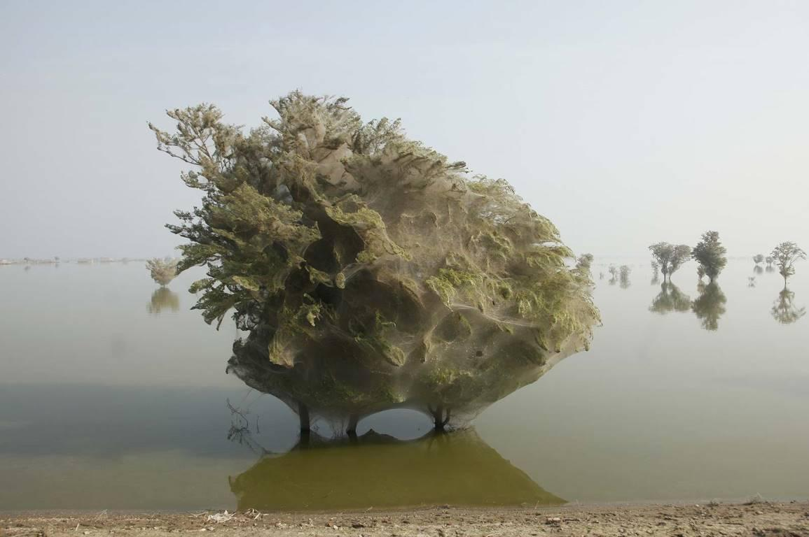 Деревья окутанные в паутину в пострадавших от наводнения районах пакистанской провинции Синд, 7 декабря 2010 года.