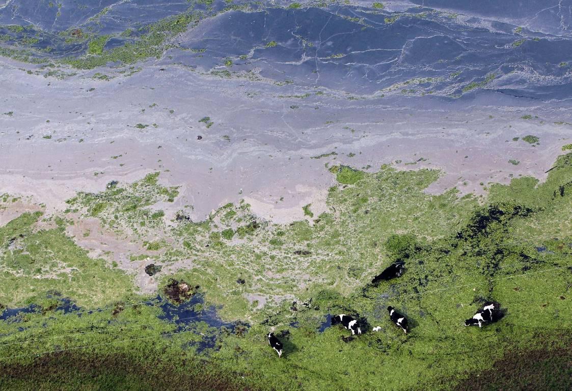 Коровы на затопленном поле в Кахика недалеко от Боготы (Колумбия), 21 мая 2011 года.