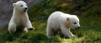 Два полярных медвежонка Нэла и Нобби играют неподалеку от своего вольера в Tierpark Hellabrunn - зоопарк в Мюнхене, 7 апреля. (Michael Dalder/Reuters)