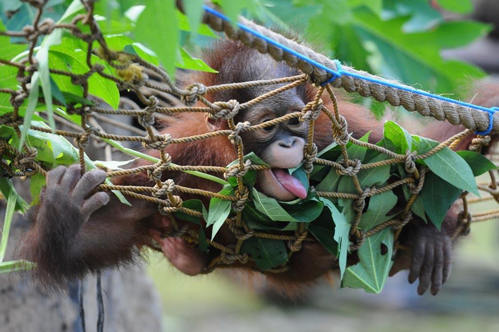10-месячный Борнейский орангутан Ризки учится кусать и жевать листья в зоопарке Сурабая, поскольку 19 мая его должны выпустить на волю. Два детеныша орангутана, братья, были найдены 14 мая 2014 года в Национальном парке Кутаи в критическом состоянии, так как от них отказалась мать. Центр защиты орангутанов взял на себя заботу по кормлению и лечению животных, у которых, как оказалось, было 16 ран в области рук и ног. (Robertus Pudyanto/Getty Images)