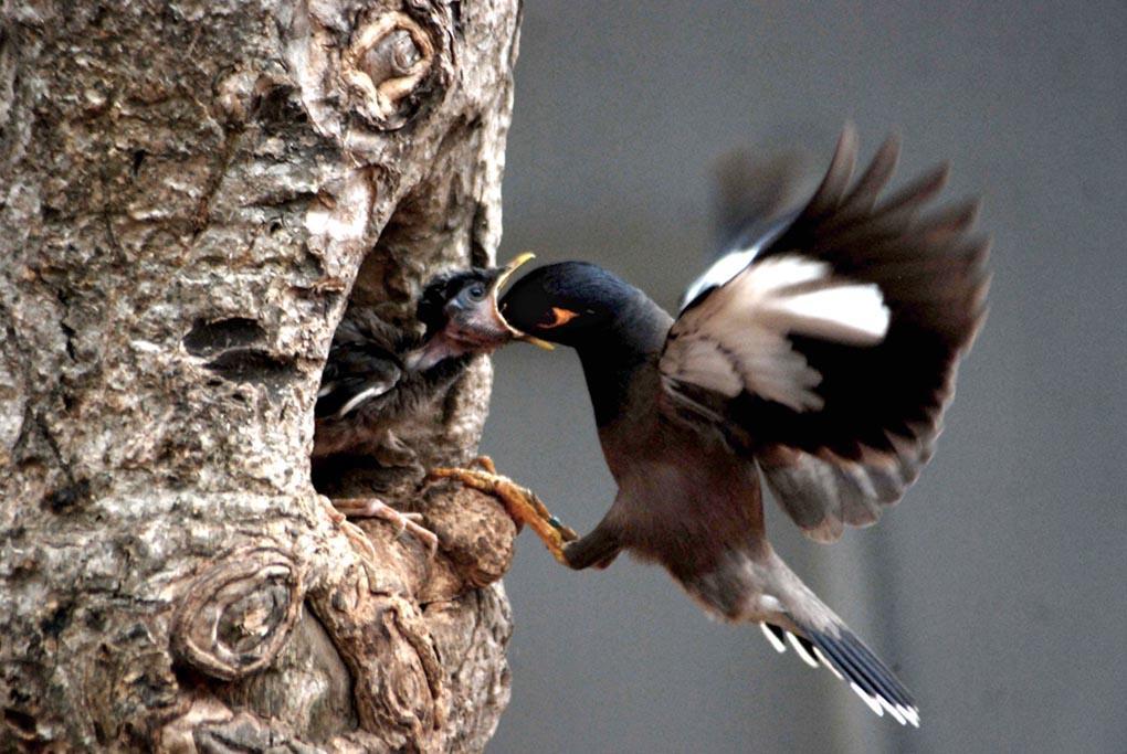 Птица майна кормит своего птенца в гнезде. Бхубанешвар, 4 мая. (ASIT KUMAR/AFP/Getty Images)
