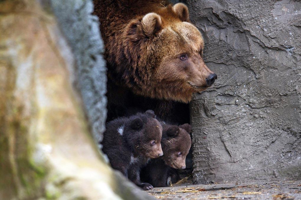 Бурая медведица Маша и ее медвежата выглядывают из пещеры в зоопарке Хабенбек. Гамбург, Германия, 11 апреля. (MAJA HITIJ/EPA)