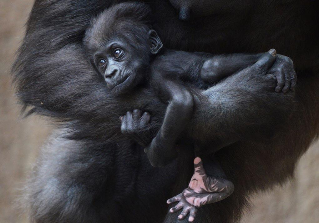 Детенышу гориллы около 2-х месяцев и зовут его Диарра. Он лежит на руке у своей матери Кумили в зоопарке в Лейпциге. 8 мая, Восточная Германия. (HENDRIK SCHMIDT/AFP/Getty)