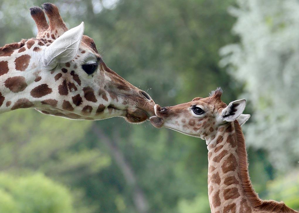 Девятидневный жираф Bine лижет нос своей тети Андреа в Фридрихсфельде - зоопарк в Берлине, Германия, 9 мая. Детеныш жирафа появился на свет 30 апреля днем и многочисленные посетители могли наблюдать его рождение. (STEPHANIE PILICK/EPA)
