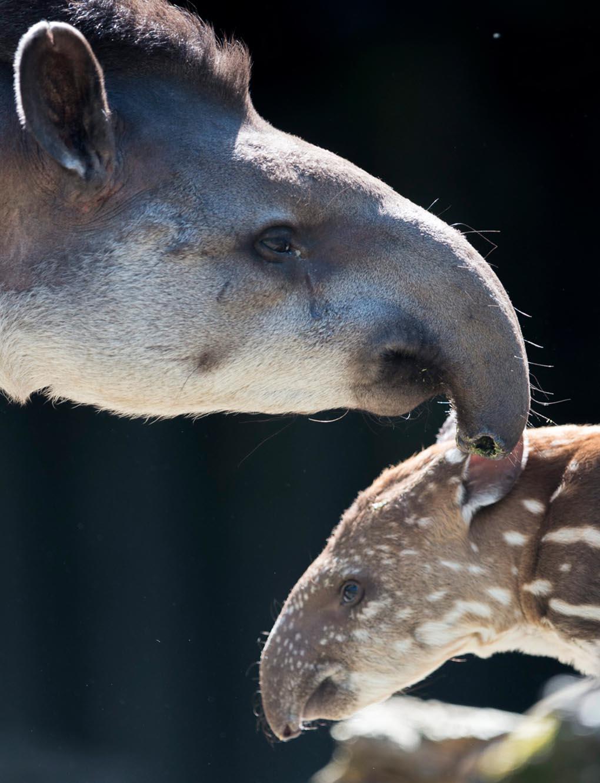 Молодой тапир родился 30 апреля. Он стоит около своей матери на территории зоопарка в Цюрихе, Швейцария, 21 мая. (ENNIO Leanza/EPA)