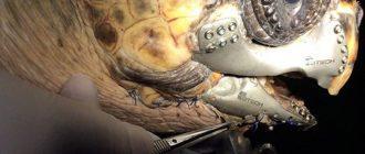 Врачи имплантировали черепахи распечатанную на 3D принтере титановую челюсть
