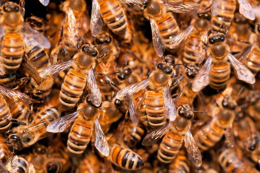 За год американские пчеловоды потеряли 40% пчёл