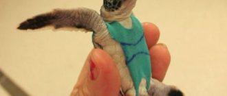 Ученые надели на черепах купальники