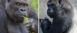 В японском зоопарке живет самая красивая в мире горилла