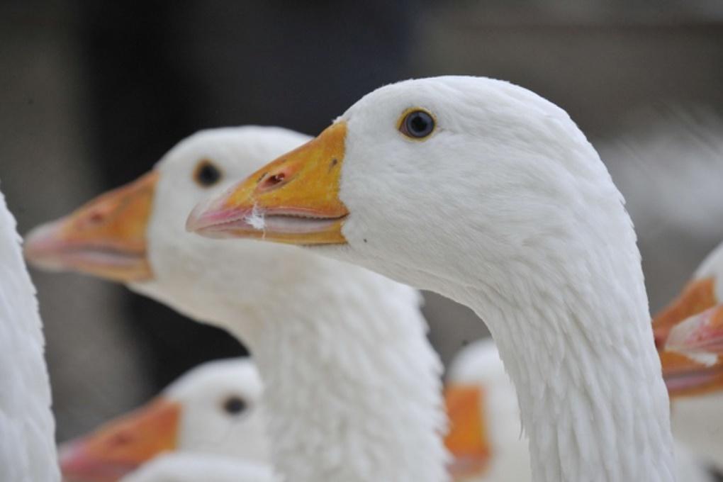 Французы сменили сторожевых псов на гусей