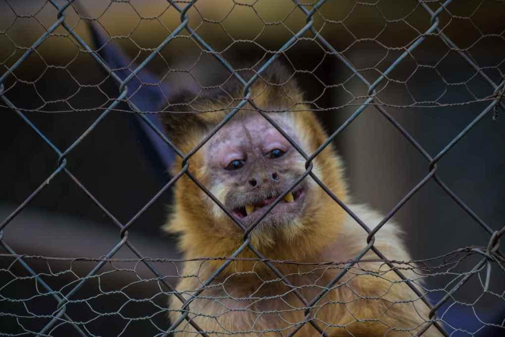 В Чили вылечили обезьяну от алкоголизма